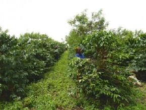 1000-sacs-de-fertilisants-et-autres-intrants-pour-booster-la-culture-du-cafe-dans-la-region-du-nord-ouest-du-cameroun