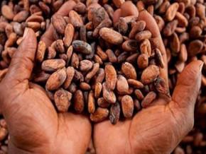 avec-36-5-de-l-enveloppe-le-cacao-a-sauve-les-recettes-d-exportation-du-cameroun-apres-la-chute-des-cours-du-petrole-en-2016-fitch-solutions