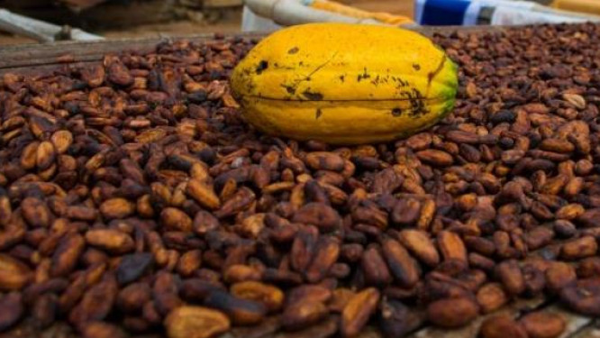 le-cacao-exporte-par-les-pays-de-la-cemac-est-passe-en-dessous-des-1-000-fcfa-kg-a-fin-2018
