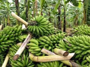 avec-19-967-tonnes-en-mars-le-cameroun-a-realise-sa-plus-mauvaise-performance-sur-les-exportations-de-bananes-au-cours-des-trois-premiers-mois-de-l-annee-2019