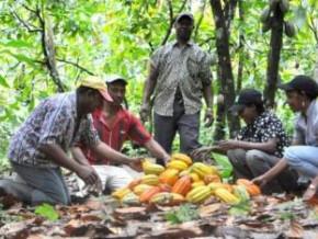 au-cameroun-des-jeunes-encadres-par-l-interprofession-cacao-cafe-ont-pu-creer-1533-hectares-de-cacaoyeres-depuis-2012