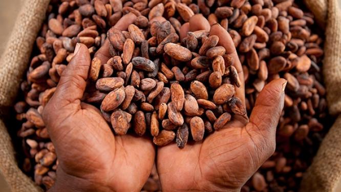 cameroun-en-2018-le-gouvernement-distribuera-pour-environ-un-milliard-fcfa-de-prime-a-la-qualite-aux-producteurs-de-cacao